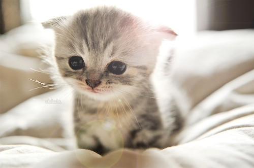 Scottish-Fold-Munchkin-Cat-Cute.jpg